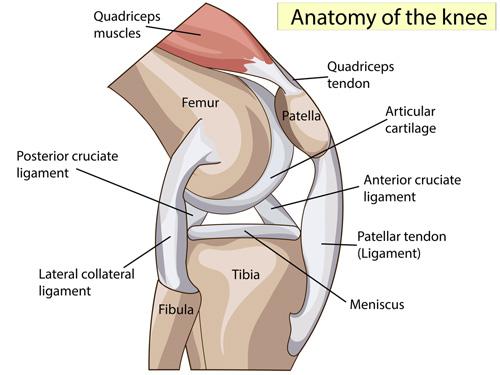 Knee anatomy illustration.