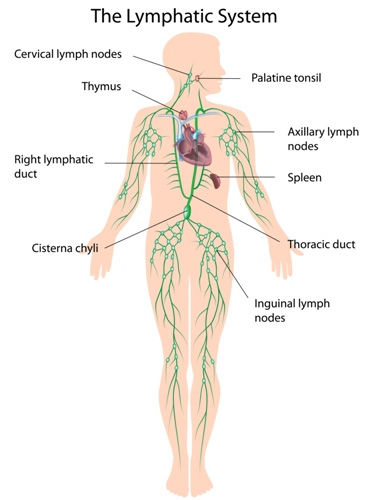 Diagram of the human lymphatic system.