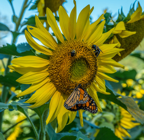 Monarch butterfly and honeybees on a sunflower.