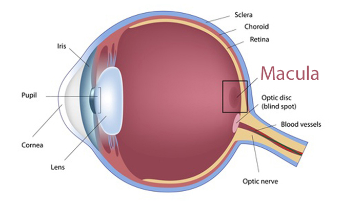 Eyeball diagram with macula highlighted.
